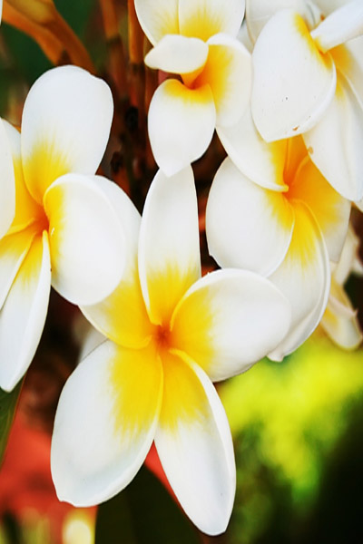 Plumeria on Maui, one of many you will see at Hookipa Bay View