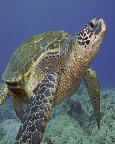 A Maui sea turtle. One of the great Maui activitoes you can do.